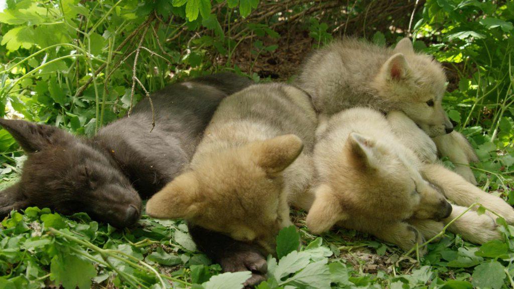 Wolf pup litter sleeps