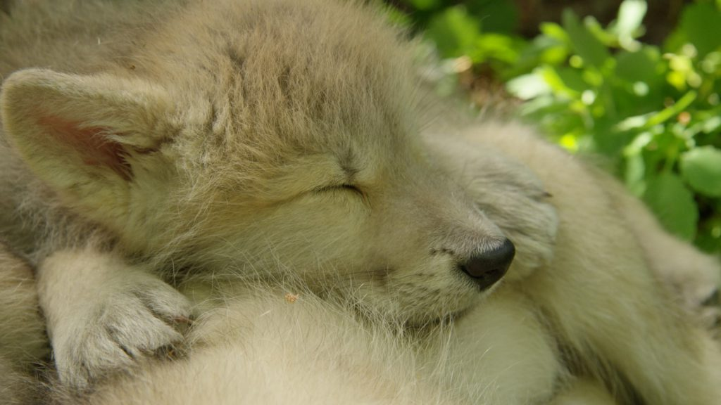 wolf pup sleeping
