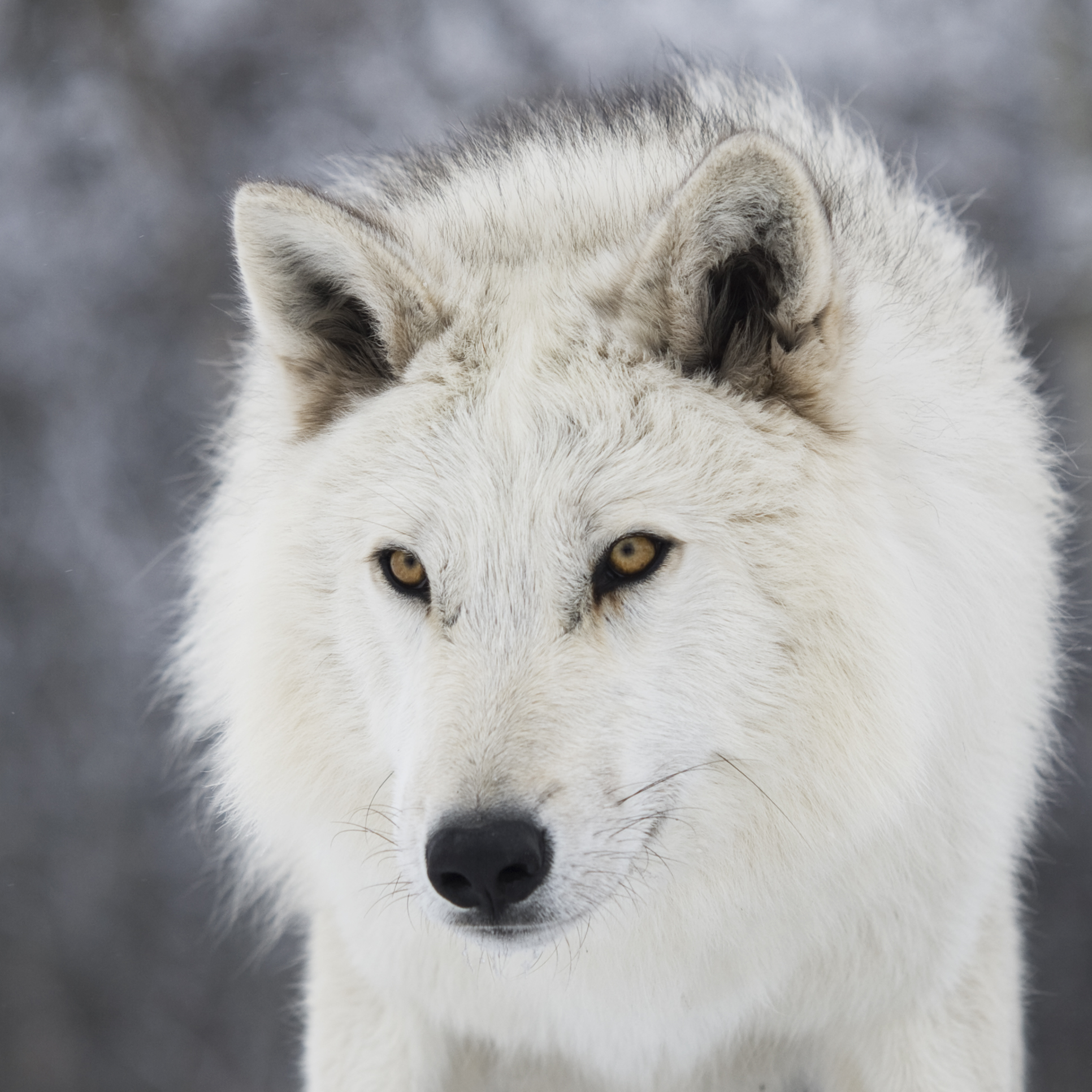 Direwolves of Game of Thrones: Real or Mythological?