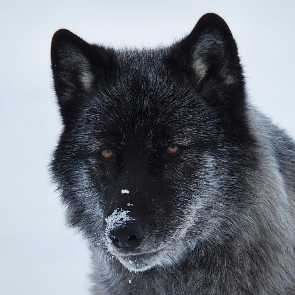 Real Black Wolf