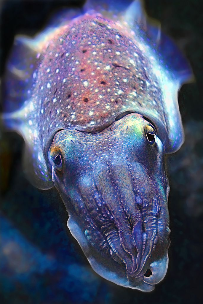 Cuttlefish – One of the Planets Most Fascinating Creatures