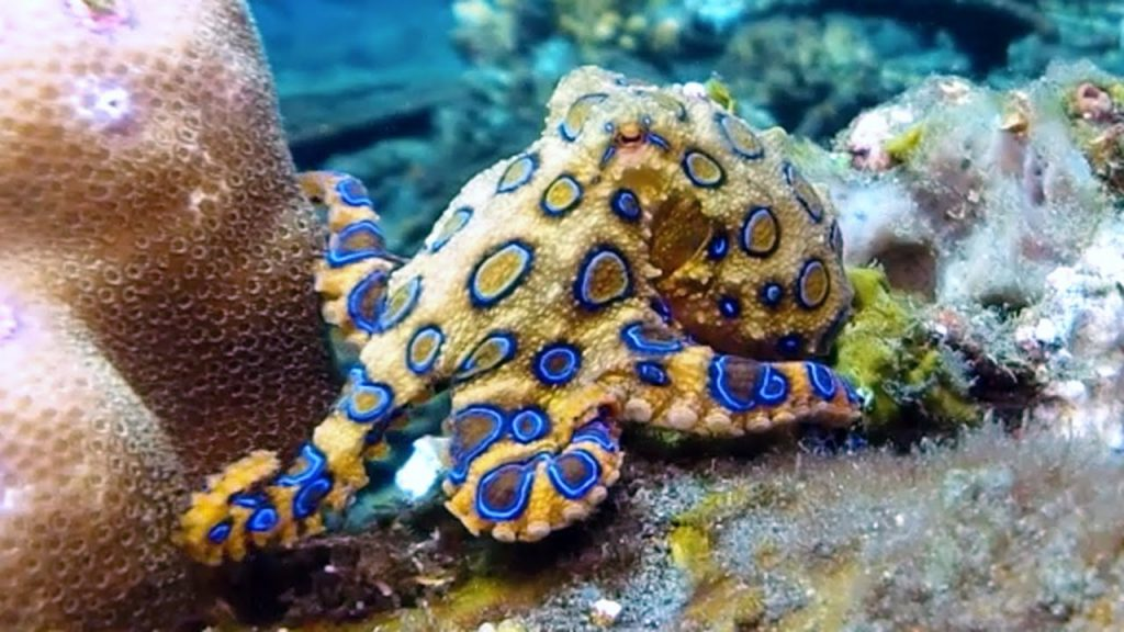camo octopus