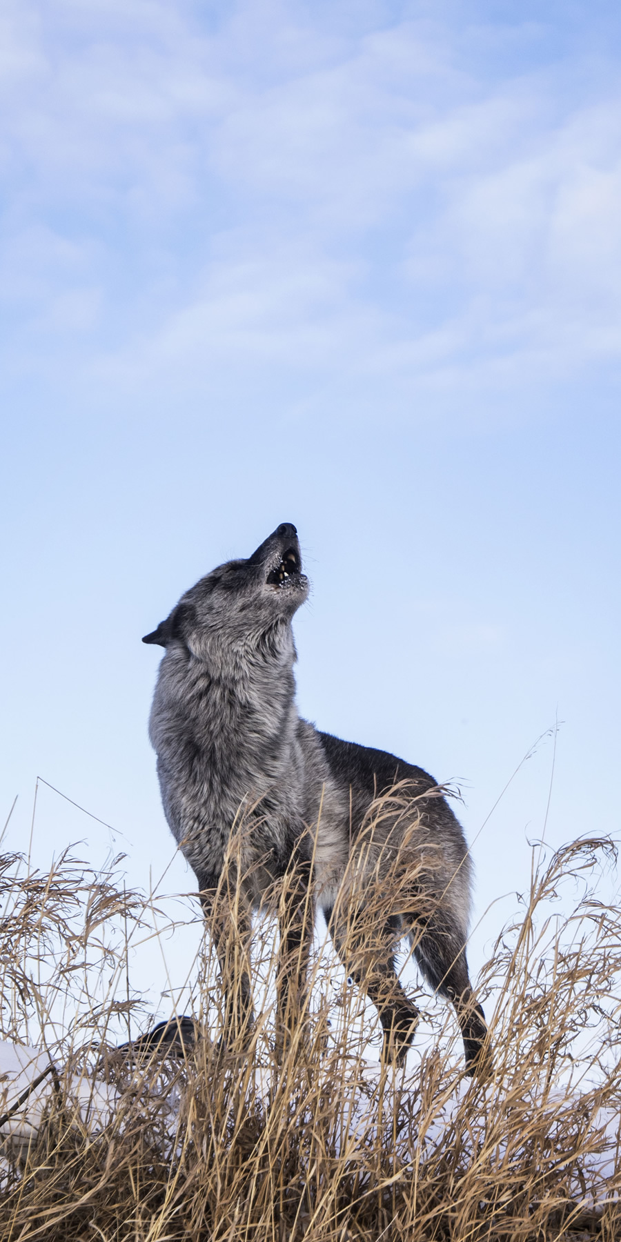 Howling grey wolf on the set of a hollywood film