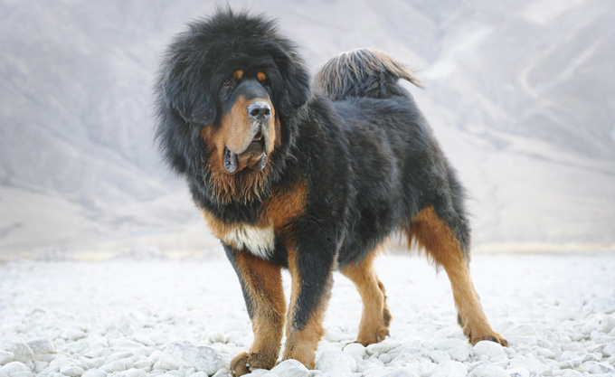 Tibetan Mastiff on a hollywood movie set