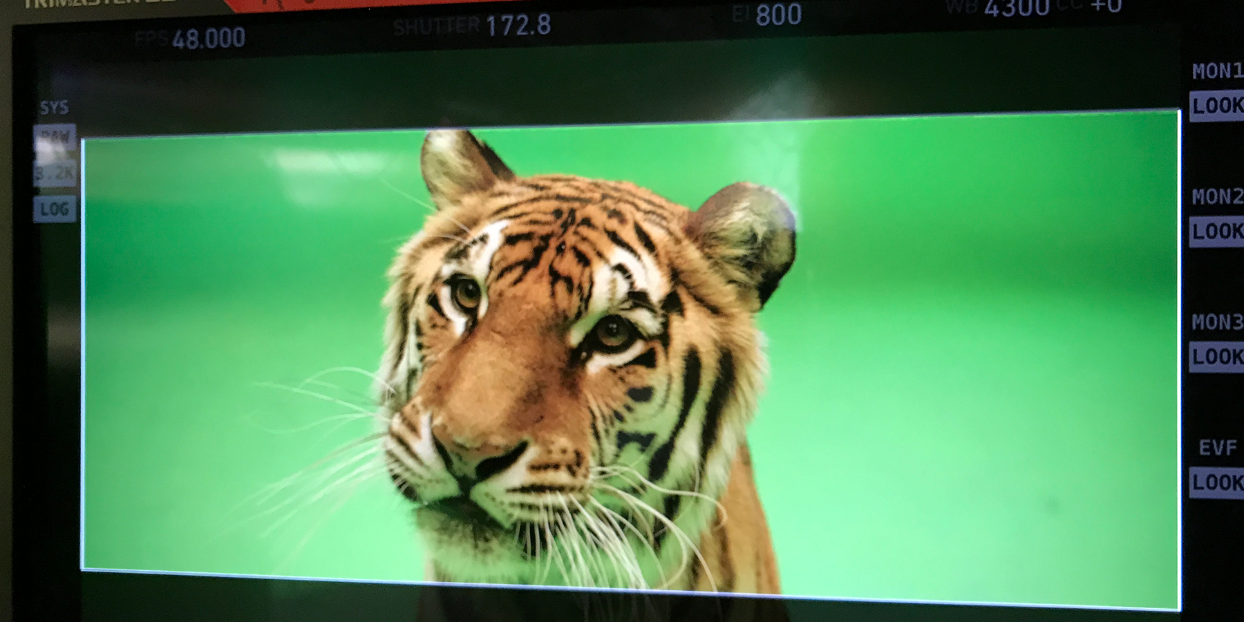 Tiger Filming with green screen