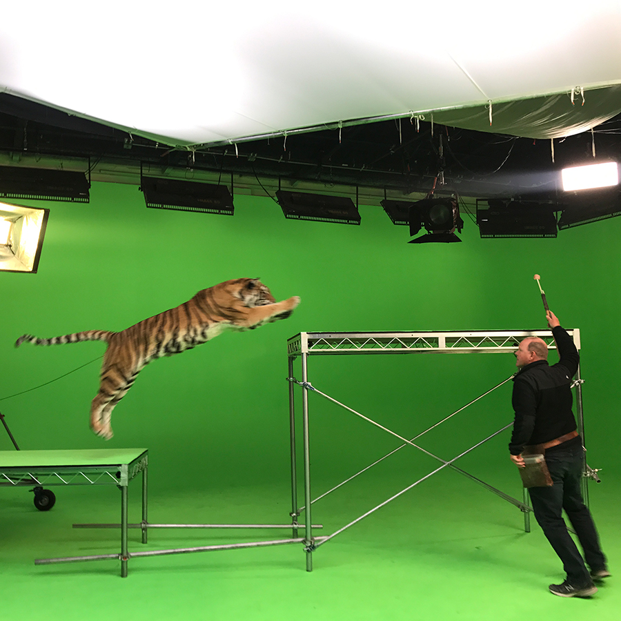 Tiger Filming with green screen.