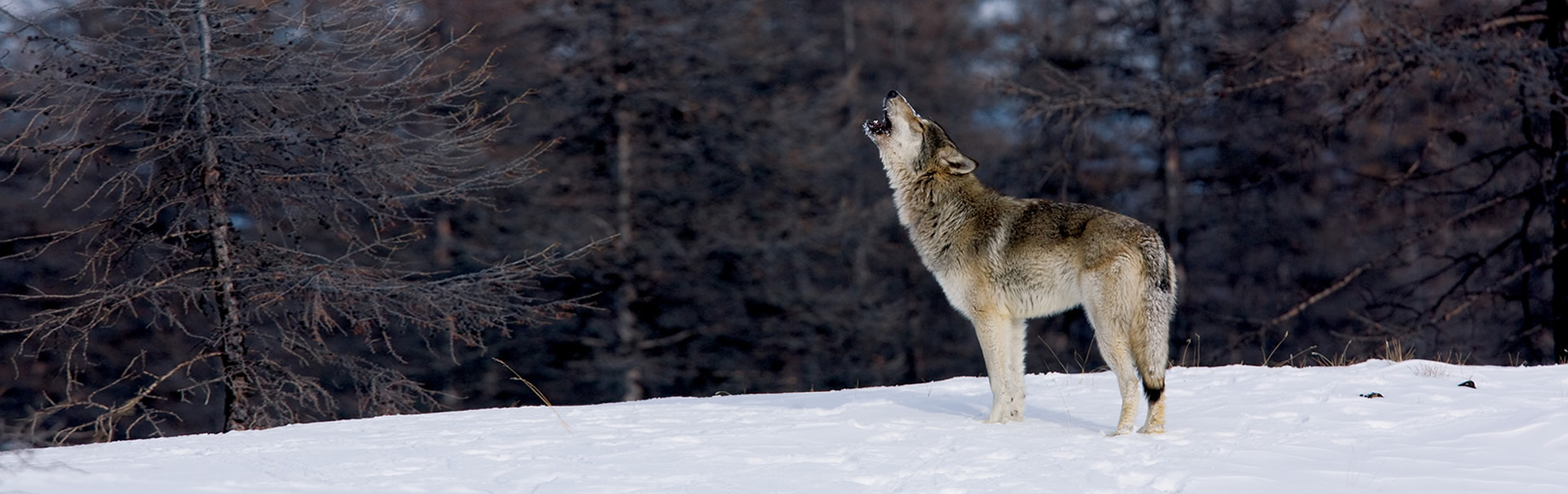 Wolves that are trained to work with actors